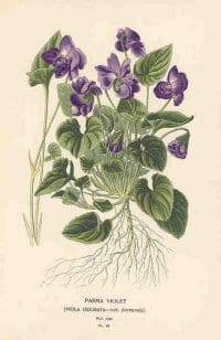 Herb of the Month: Violet