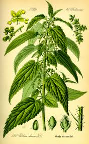 Herb of the Month: Nettle