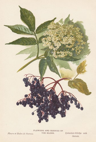 Herb of the Month: Elder