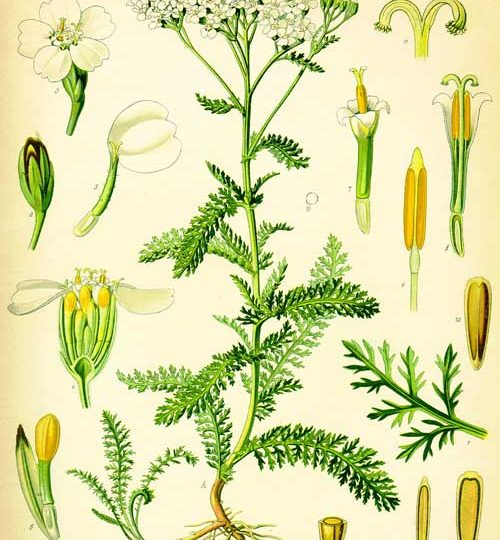 Herb of the Month: Astragalus – emery herbals
