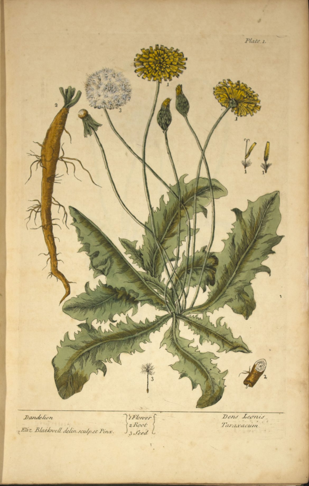 Herb Of The Month Dandelion Emery Herbals
